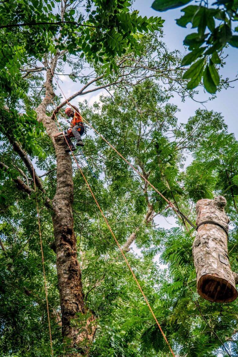 A tree surgeon at work